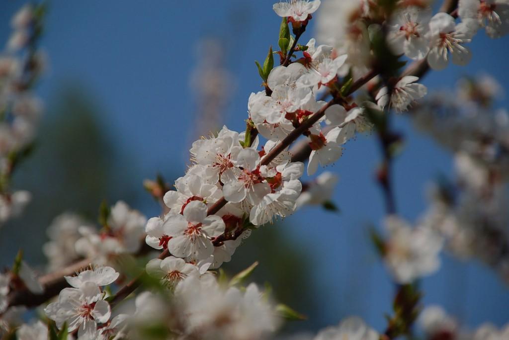Frühling-Baumblüten